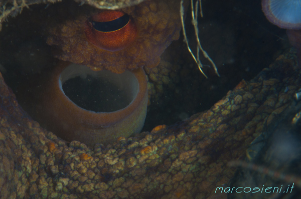 Octopus with eggs in Paguro Wreck