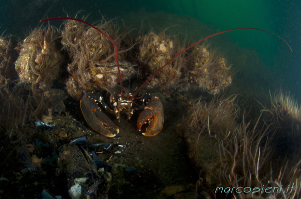Lobster in Paguro Wreck