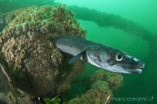 Friendly Conger Conger in Paguro Wreck