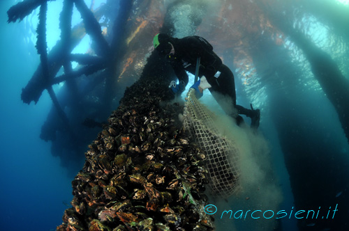 Mussels under offshore platform